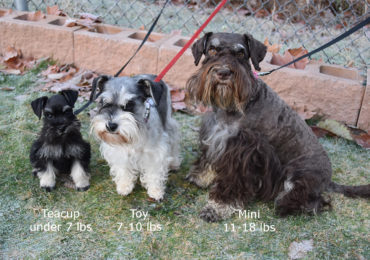 Toy and Teacup Schnauzers