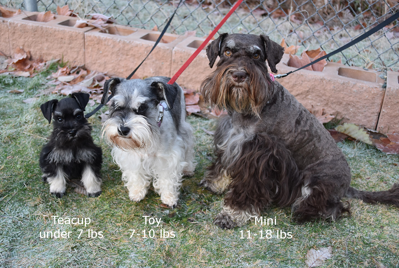 Toy and Teacup Schnauzers | My Schnauzers