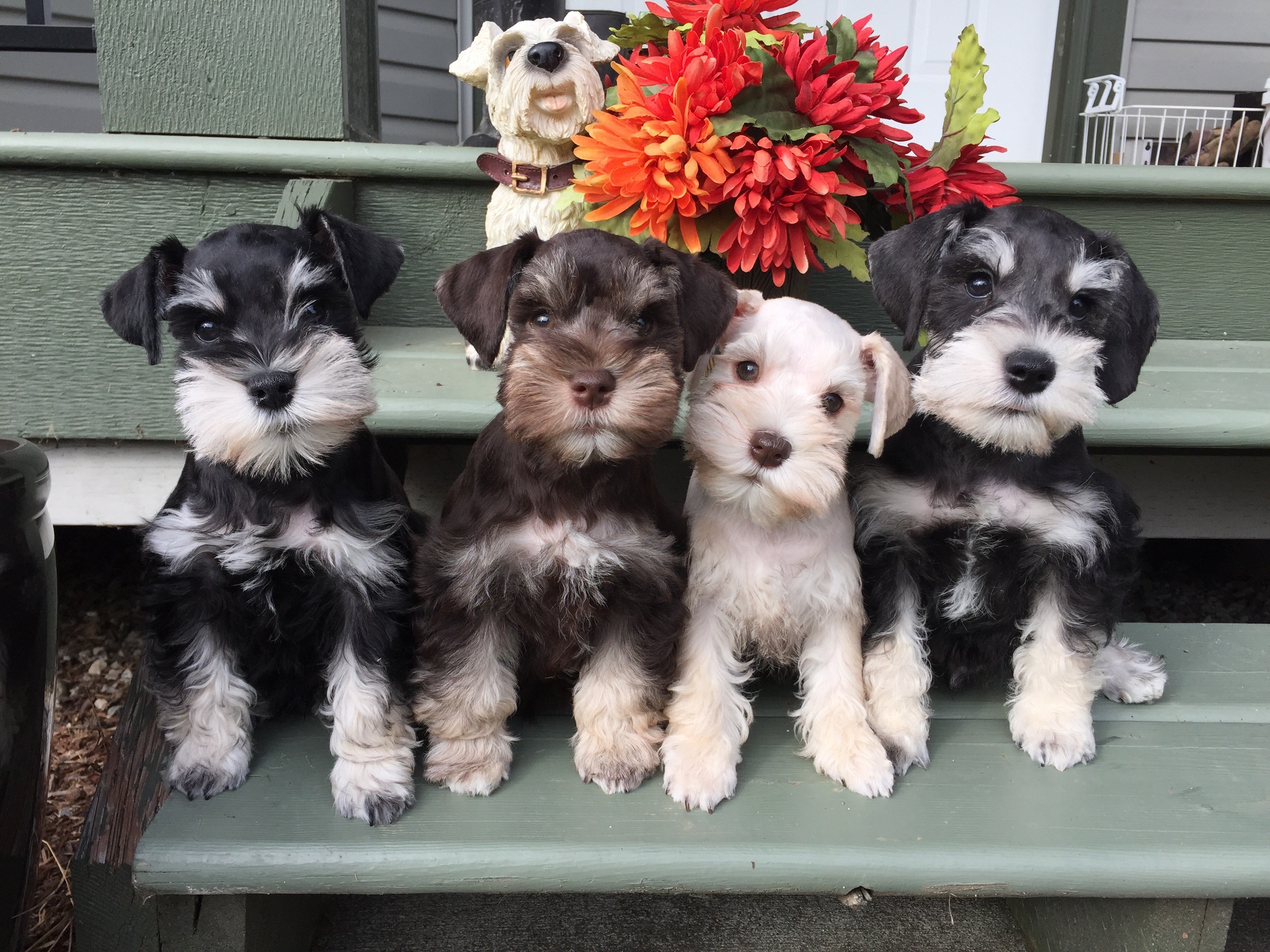 Teacup Puppies For Sale Bc
