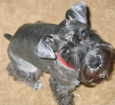 Spencer- Adult Miniature Schnauzer
