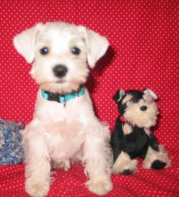 Miniature Schnauzer Puppy White
