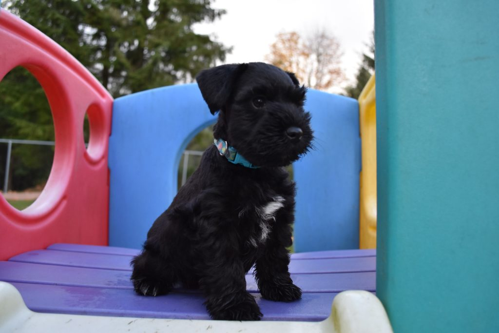 Miniature Schnauzer Puppy Black